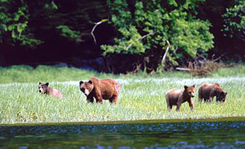 Mother grizzly with three cubs, Knight Inlet Lodge.