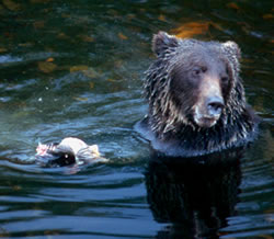 Grizzly bear eating salmon at Knight Inlet Lodge, British Columbia.