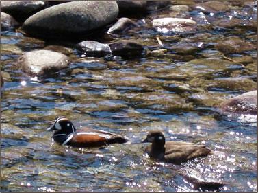 Harlequin ducks, Jasper National Park Canadian Rockies.