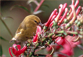 Hawaii's birds are a highlight of wildlife vacations and nature pictures.