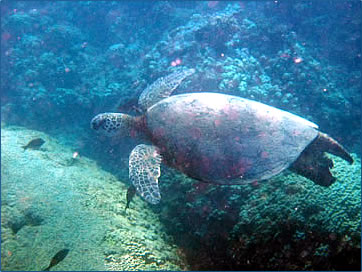 Green sea turtles, whales and dolphins thrive in Hawaiian marine environments.
