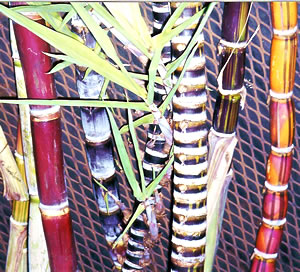 Old varieties of Hawaiian sugar cane.