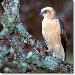 photo of Hawaiian Hawk or I'o by Hawaii nature photographer, Jack Jeffrey