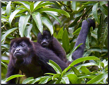 Howler monkeys, nature holidays in Costa Rica.