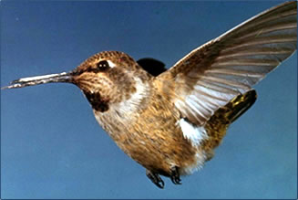 Hummingbirds species are found in the greatest numbers along the U.S.-Mexico border.