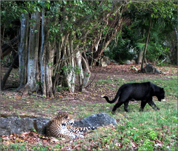 Central American jaguars: senior travel nature vacations at Xcaret, Mexico.