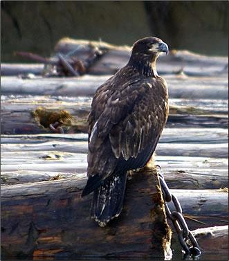 Juvenile Bald eagle, British Columbia Eagle Watching Holidays.
