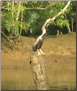 Snakebird in Kerala, India backwaters.