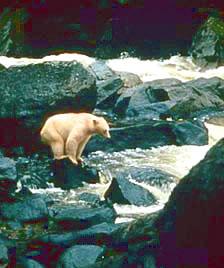 Kermode or Spirit bear on rock.