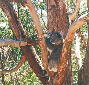 Koala bear on Kangaroo Island.
