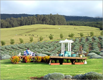 Ali`i Kula Lavender Farm, a part of Maui's Upcountry Agri-Tourism.