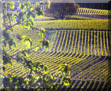 French vineyard: travel to Champagne region of France.