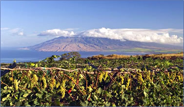 Maui's Winery vineyards looking to West Maui.