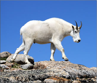 Mountain goat at Cathedral Provincial Park, British Columbia.