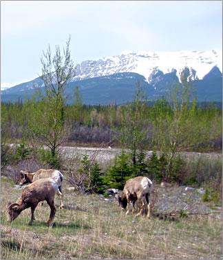 Mountain sheep, Jasper National Park Canadian Rockies.