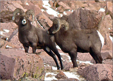 Bighorn sheep are seen from Pikes Peak Cog Railway in Colorado.