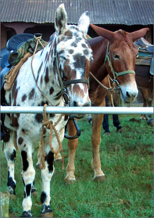Molokai Mule Ride down a cliff to Kalaupapa leper colony: Father Damien and peninsula history.