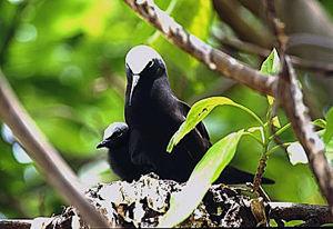 Nesting noddy birds on Australia's Heron Island.