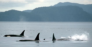 Pod of killer whales on wilderness vacation in British Columbia.