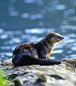 River otter at Knight Inlet Lodge, British Columbia wilderness tour.