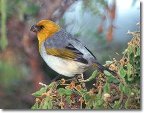 photo of Hawaiian Palila bird by nature photographer, Jack Jeffrey