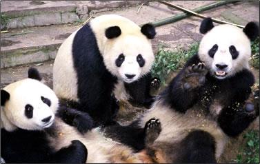 Three panda cubs on China volunteer nature vacations.
