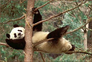 Panda resting in a tree: Giant panda conservation holidays, Volunteer nature travel in China.
