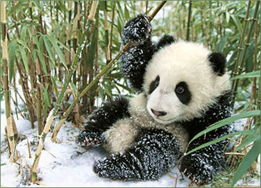 Baby panda in snow: Panda conservation volunteer vacations in China.