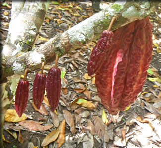 Cocoa pods on plantation in Peru.