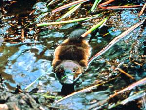 Platypus on Kangaroo Island, Australia, nature vacations.