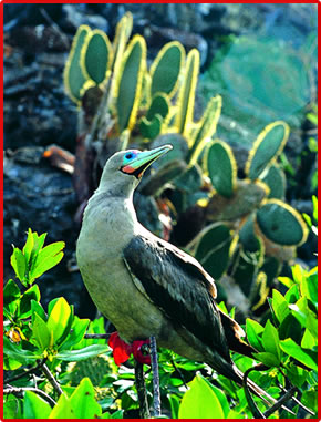 Red-footed Booby, Galapagos Islands birds and nature.