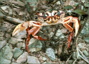 Red land crabs are part of Cuba's nature tourism.