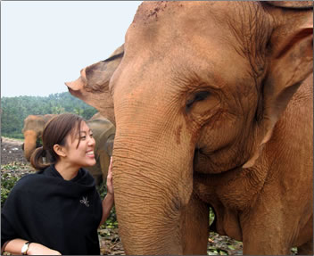 Asian elephant at rescue center in Asia.