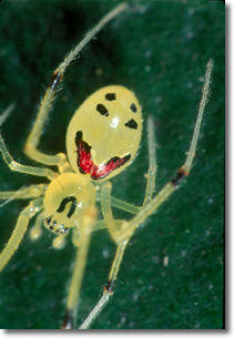 photo of Happy Face spider by Hawaiian nature photographer, Jack Jeffrey