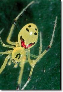 photo of Happy Face spider by Hawaiian nature photographer, Jack Jeffrey