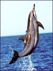 A Hawaiian spinner dolphin makes great nature and wildlife pictures.