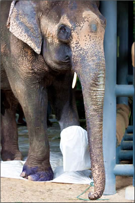 Rescued injured Asian elephant in Thailand.