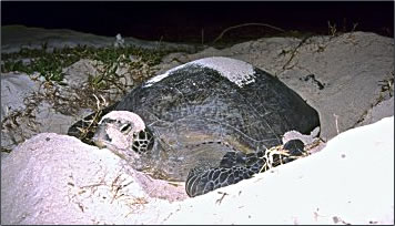 Turtle conservation on Australia's Heron Island on the Great Barrier Reef wildlife and nature pictures and exploration.