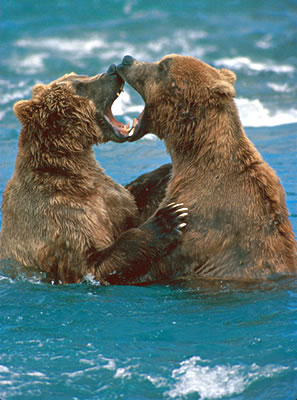 Understanding Bears, Bear Watching Vacations and Tour Operators.