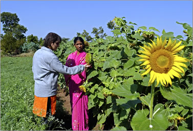 Tour of Morachi Chincholi, agri tourism, learning about growing sunflowers.
