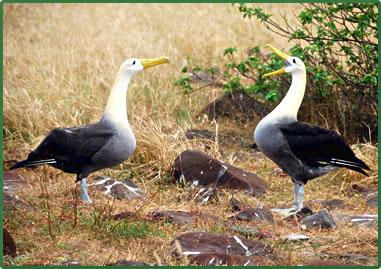 Waved Albatross, Galapagos Islands wildlife tours.