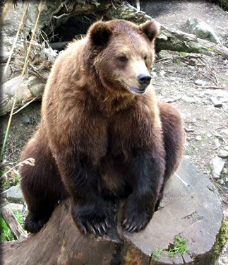 Fortress of the Bear rescue center, Sitka Alaska, things to do.