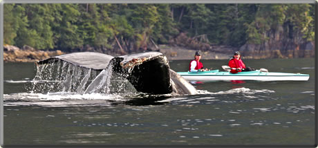 Humpback whale in Alaska: whale watching nature cruises.