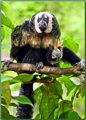 Monk saki monkey in Pacaya Samiria National Reserve, Peru Amazon.