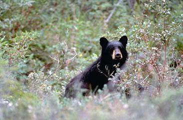 Black bears feed along the Tatshenshini river during a Yukon rafting vacation.