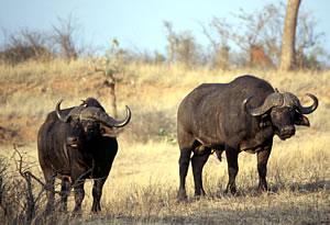 Cape Buffalo on South Africa walking safari vacation.