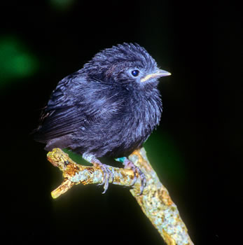 New Zealand endangered wildlife, New Zealand bird watching tours may see rare Chatham Island black robins.