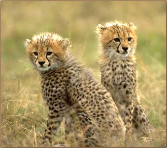 Cheetah-Cubs