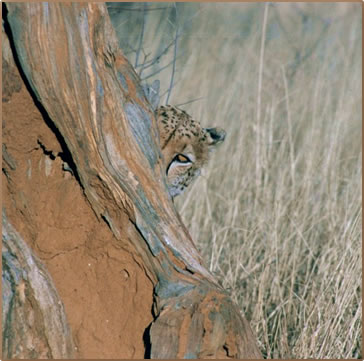 Earthwatch Volunteer Vacation: Namibia Cheetah Conservation by Dorothy Conlon.