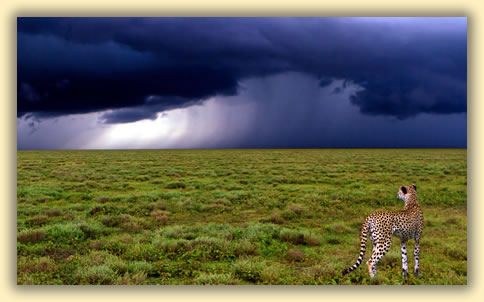 Cheetah in a storm: An African wildlife safari photographer offers tips for getting best wildlife images.